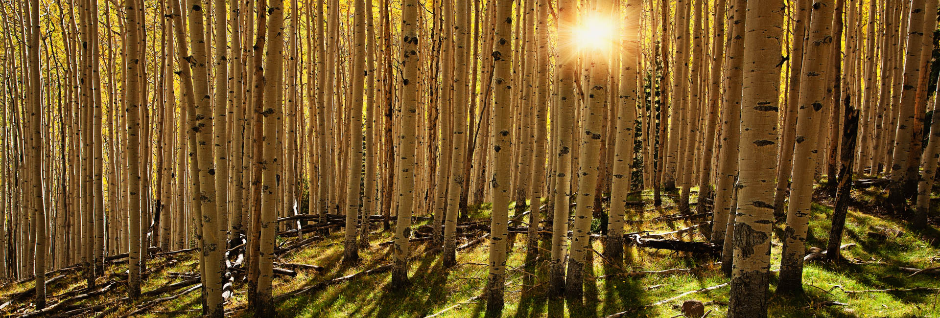 Aspens in Coconino National Forest