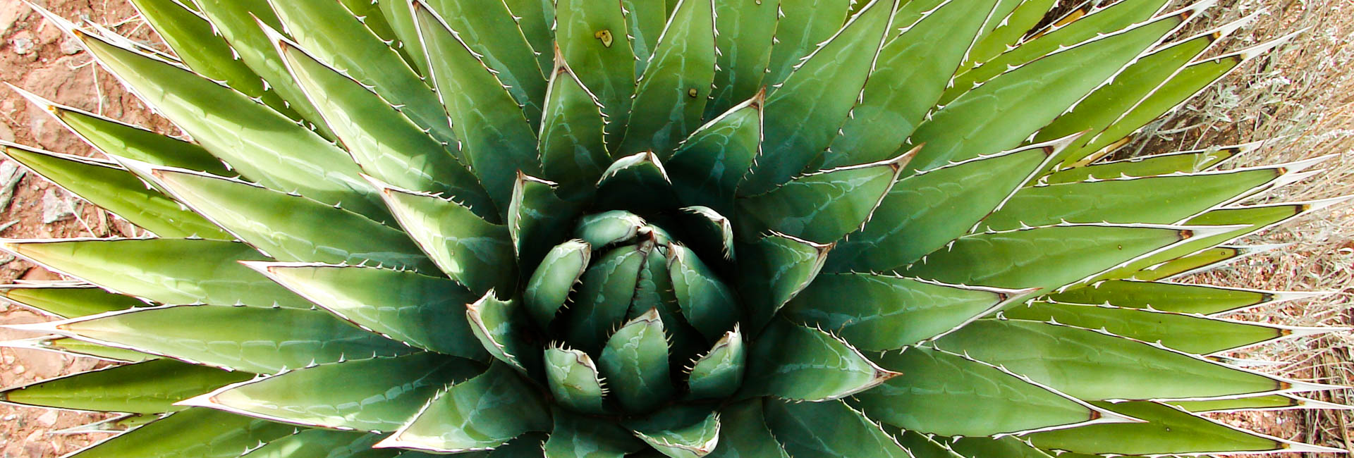 Agave in Prescott National Forest